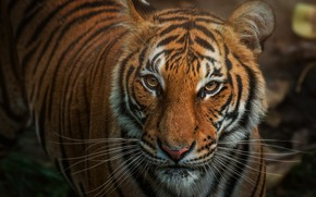 Picture look, face, close-up, tiger, portrait
