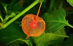 Picture macro, flashlight, physalis