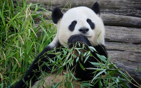Picture look, face, leaves, branches, pose, portrait, bear, bear, Panda, sitting