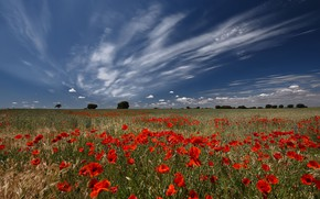 Picture field, summer, clouds, blue, Maki, poppy field