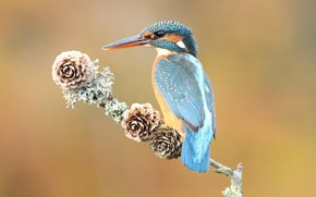 Picture look, orange, background, blue, bird, branch, back, bird, sitting, wings, bumps, blue, handsome, cute, Kingfisher, …