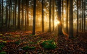 Picture autumn, forest, trees, moss, sunlight, fallen leaves