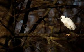 Picture branches, the dark background, tree, bird, white, Heron