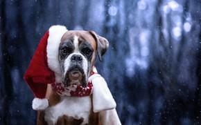Picture look, face, snow, dog, Santa Claus, cap, Boxer