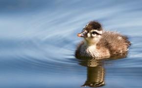Picture water, reflection, bird, duck, duck, chick, pond, duck