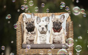 Picture dogs, summer, look, bench, nature, pose, sofa, chair, puppies, bubbles, puppy, three, white, ears, the …