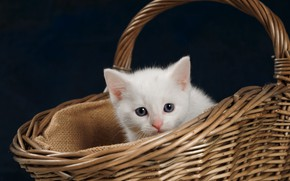 Picture cat, white, kitty, kitty, basket