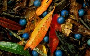 Picture leaves, berries, blue quandong, blue marble tree, elaeocarpus angustifolia, blue Fig
