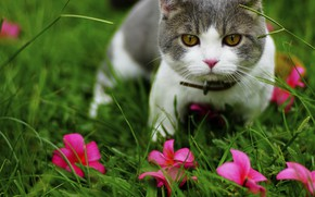 Picture cat, grass, cat, flowers, nature, kitty, grey, glade, portrait, garden, muzzle, pink, kitty, pink flowers, …