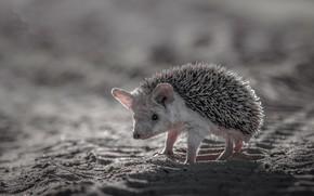 Wallpaper nature, background, hedgehog