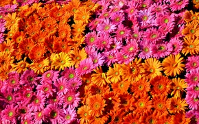 Picture gerbera, colorful, flowers