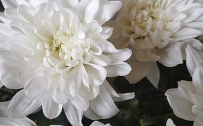 Picture flowers, beauty, Chrysanthemum