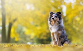 Picture autumn, look, face, pose, Park, foliage, dog, puppy, sitting, bokeh, collie