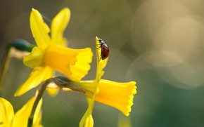 Picture macro, flowers, nature, ladybug, beetle, spring, insect, daffodils, bokeh