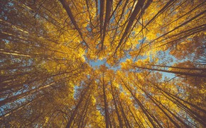 Picture autumn, the sky, leaves, aspen