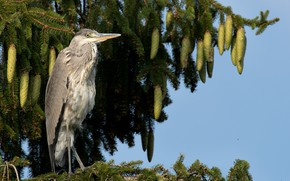 Picture tree, bumps, Heron