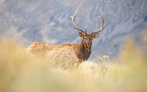 Picture grass, look, face, mountains, background, deer, meadow, horns, walk, bokeh