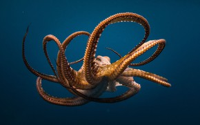 Picture sea, the ocean, octopus, the tentacles
