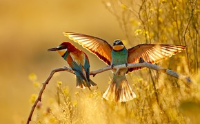 Picture light, birds, branches, two, wings, pair, Golden bee-eater, the scope, bee-eaters
