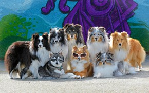 Picture dogs, the sun, wall, graffiti, glasses, a lot, collie