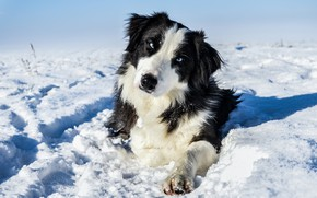 Picture winter, look, face, light, snow, nature, black and white, dog, paws, lies, shadows, blue eyes, ...