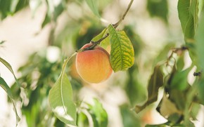 Picture leaves, nature, branch, fruit, apricot, ripe fruit