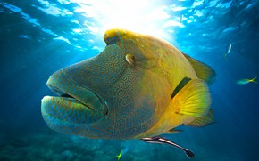 Picture sea, look, face, light, pattern, fish, underwater world, view, under water, swimming, Napoleon, exotic, wrasse