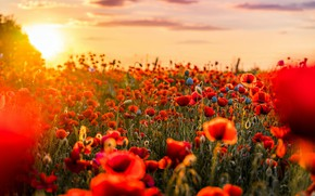 Picture summer, the sun, sunset, flowers, nature, bright, Maki, red, bokeh, poppy field