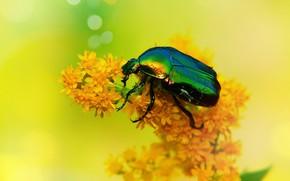 Picture summer, macro, flowers, yellow, green, background, beetle, insect, orange, brilliant, brantovka, brantovka Golden