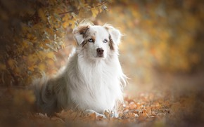 Picture autumn, look, leaves, branches, portrait, dog, bokeh, Australian shepherd, Aussie