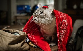 Picture cat, cat, look, face, red, pose, table, room, bag, shawl, Cape, the room, looking up