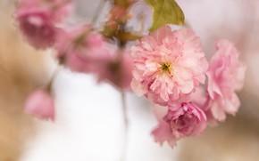 Picture macro, flowers, branches, blur, spring, Sakura, pink, flowering, bokeh, in bloom, lush