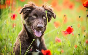 Picture field, language, summer, look, face, flowers, nature, pose, Maki, portrait, dog, positive, red, walk, sitting, …