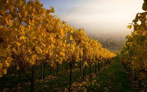 Picture autumn, leaves, fog, perspective, yellow, garden, vineyard, path, the ranks, settlement, vine, grape leaves
