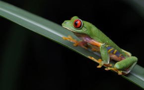 Picture look, macro, pose, sheet, frog, black background, green, a blade of grass, red-eyed tree frog
