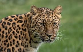 Picture look, face, background, blur, leopard, wild cat