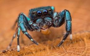 Picture macro, spider, orange background, jumper, spider, the Hoppy, Bouncing
