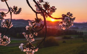 Picture sunset, nature, cherry, branch, flowering
