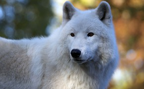 Picture white, look, face, wolf, portrait, handsome, bokeh, polar
