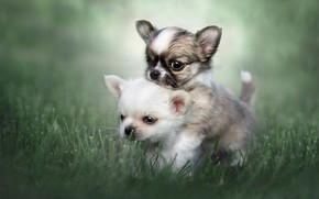 Picture grass, puppies, kids, a couple, bokeh, Chihuahua, doggie