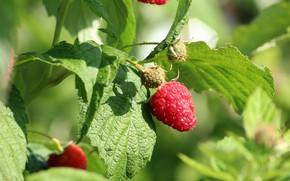Picture berries, raspberry, Bush, Nature