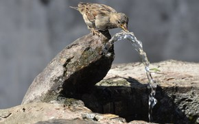 Picture water, nature, stones, bird, Sparrow, jet, fountain