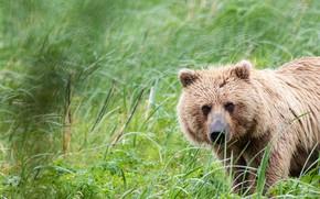 Picture grass, look, face, portrait, bear, brown