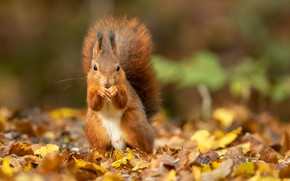Picture autumn, leaves, foliage, protein, red, bokeh
