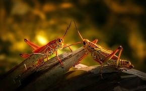 Picture light, pair, grasshopper, bark, a couple, Duo, bokeh, grasshoppers