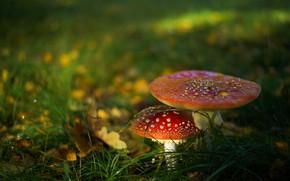 Picture forest, grass, mushrooms, Amanita