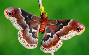 Wallpaper butterfly, wings, insect, patterned, bright, red, background, red-brown, branch, green, Emperor moth, macro