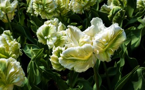 Picture tulips, flowerbed, green