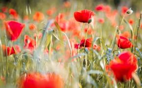 Picture greens, field, summer, grass, light, flowers, nature, stems, glade, bright, Mac, Maki, blur, meadow, red, …