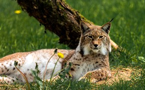 Picture lies, relax, nature, tree, lynx, dandelions, lawn, summer, grass, spring